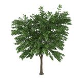 Tree. A deciduous tree isolated on white background Royalty Free Stock Photos
