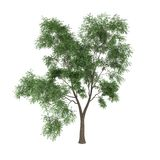 Tree. A deciduous tree isolated on white background Stock Photos