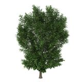Tree. A deciduous tree isolated on white background Royalty Free Stock Photo