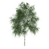 Tree. A deciduous tree isolated on white background Royalty Free Stock Photography