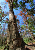 Tree. Deciduous trees in winter in Phuket Royalty Free Stock Photo