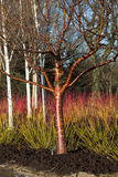 Tree with decorative bark in winter garden Stock Image