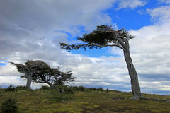 Tree deformed by wind, Patagonia, Argentina Royalty Free Stock Image