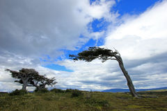 Tree deformed by wind, Patagonia, Argentina Stock Photos