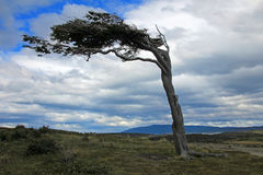 Tree deformed by wind, Patagonia, Argentina Royalty Free Stock Photo