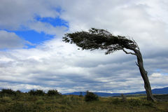 Tree deformed by wind, Patagonia, Argentina Stock Image