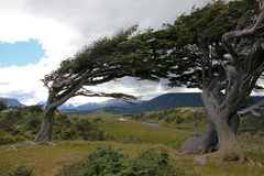 Tree deformed by wind, Patagonia, Argentina Stock Images