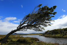 Tree deformed by wind, Patagonia, Argentina Royalty Free Stock Images