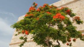 Tree of delonix regia, Malta, Valletta. Red flowered tree of delonix regia, Malta, Valleta stock footage