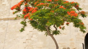 Tree of delonix regia, Malta, Valletta. Red flowered tree of delonix regia, Malta, Valleta stock video