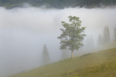 Tree in a dense fog. Carpathians. Royalty Free Stock Photography