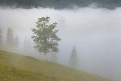 Tree in a dense fog. Carpathians. Stock Image