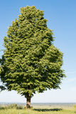 Tree with dense foliage in the background of the sky Royalty Free Stock Photos