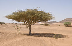 Tree in the desert Royalty Free Stock Photos