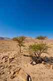Tree in Desert Stock Photo