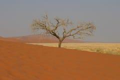 Tree in desert. Dead single tree at the bottom of a dune in the namibian desert royalty free stock images