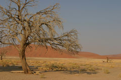 Tree and desert. Dead tree in the namibian desert with a res dune in the background stock image
