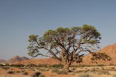 Tree in the Desert. Giant tree in the desert in Namibia Stock Photo