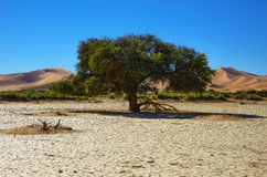 Tree in desert, Africa Stock Images