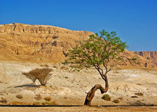 Tree in desert against mountain. And blue sky Stock Photo