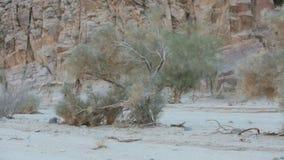Tree in the desert in California stock video