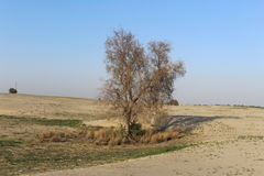 A tree in the desert. In the chikpea field Royalty Free Stock Image