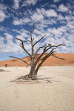 Tree in the desert. A dead looking tree in the Namibian desert Royalty Free Stock Image