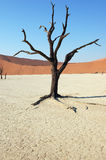 Tree in the desert - Deadvlei Royalty Free Stock Photo