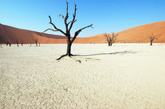 Tree in the desert - Deadvlei Royalty Free Stock Images