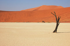 Tree in the desert - Deadvlei Royalty Free Stock Photography
