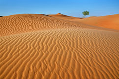 Tree in the desert. Desert in the distance a tree in the foreground dunes Royalty Free Stock Photos