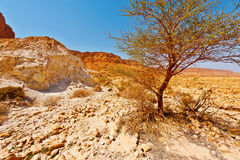Tree in Desert Royalty Free Stock Photo