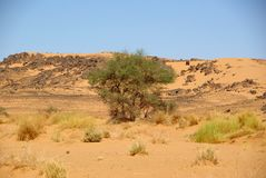 Tree in the desert, Libya Royalty Free Stock Images