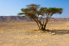 Tree in desert Royalty Free Stock Photos