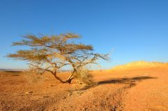 Tree in the desert. Lonely tree in the desert. Southwestern Arabah, Israel Stock Photography