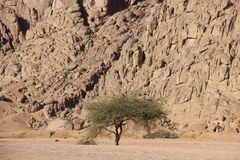 Tree in the desert Royalty Free Stock Images