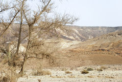 Tree in the desert. A thorny tree in Ramon Crator, Israel Royalty Free Stock Photos