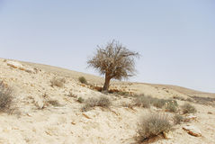 Tree in the desert. A thorny tree in Ramon Crator, Israel Royalty Free Stock Photography