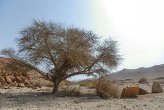 Tree in the desert. A thorny tree in Ramon Crator, Israel Stock Photo