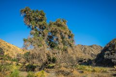 Tree in Desert Wash Royalty Free Stock Images