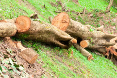 Tree Destruction. An Environment Destruction of Chopped Down Tree Royalty Free Stock Photography