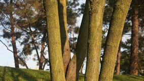 Tree detail in nature. In Istanbul, Turkey stock footage
