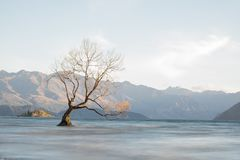 Tree on lake wanaka. Tree die dry in lake wanaka on morning Stock Image