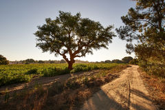 The tree by the dirt road at sunrise Stock Images
