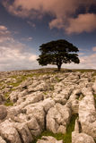 Tree in Dovengill. Tree standing alone in the rocks field Royalty Free Stock Photography