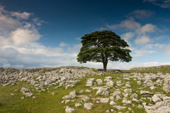 Tree in Dovengill. Tree standing alone in the rocks field Royalty Free Stock Photo