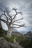 Tree. Dramatic old pine in crimea Royalty Free Stock Image
