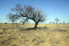 Tree in drought Royalty Free Stock Image