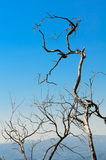 The tree is dry Royalty Free Stock Images