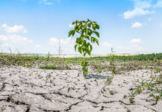 Tree on dry ground at hot sunny day Stock Images